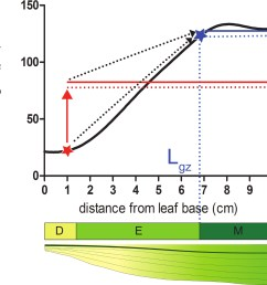 dashed arrows indicate the convergence between the local size and 95 of the average size over the distal portion of the leaf when moving from the basal  [ 1200 x 1178 Pixel ]