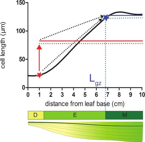 small resolution of dashed arrows indicate the convergence between the local size and 95 of the average size over the distal portion of the leaf when moving from the basal