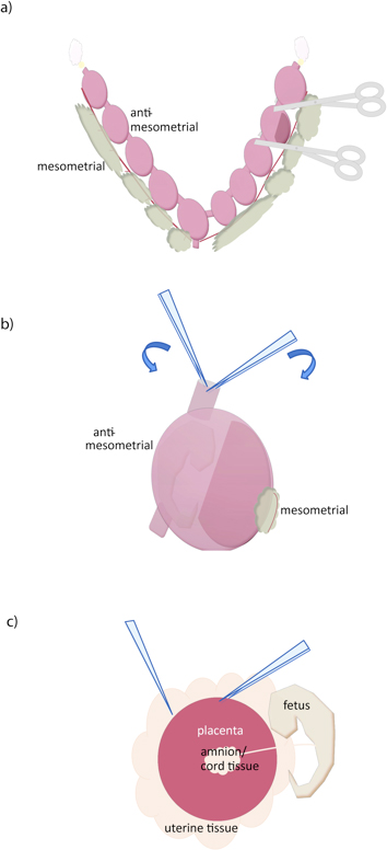 mouse dissection diagram taco circulator pump wiring isolation of primary trophoblast cells and the placenta a uterus is removed by cutting along oviducts yellow mesometrial surface at cervix