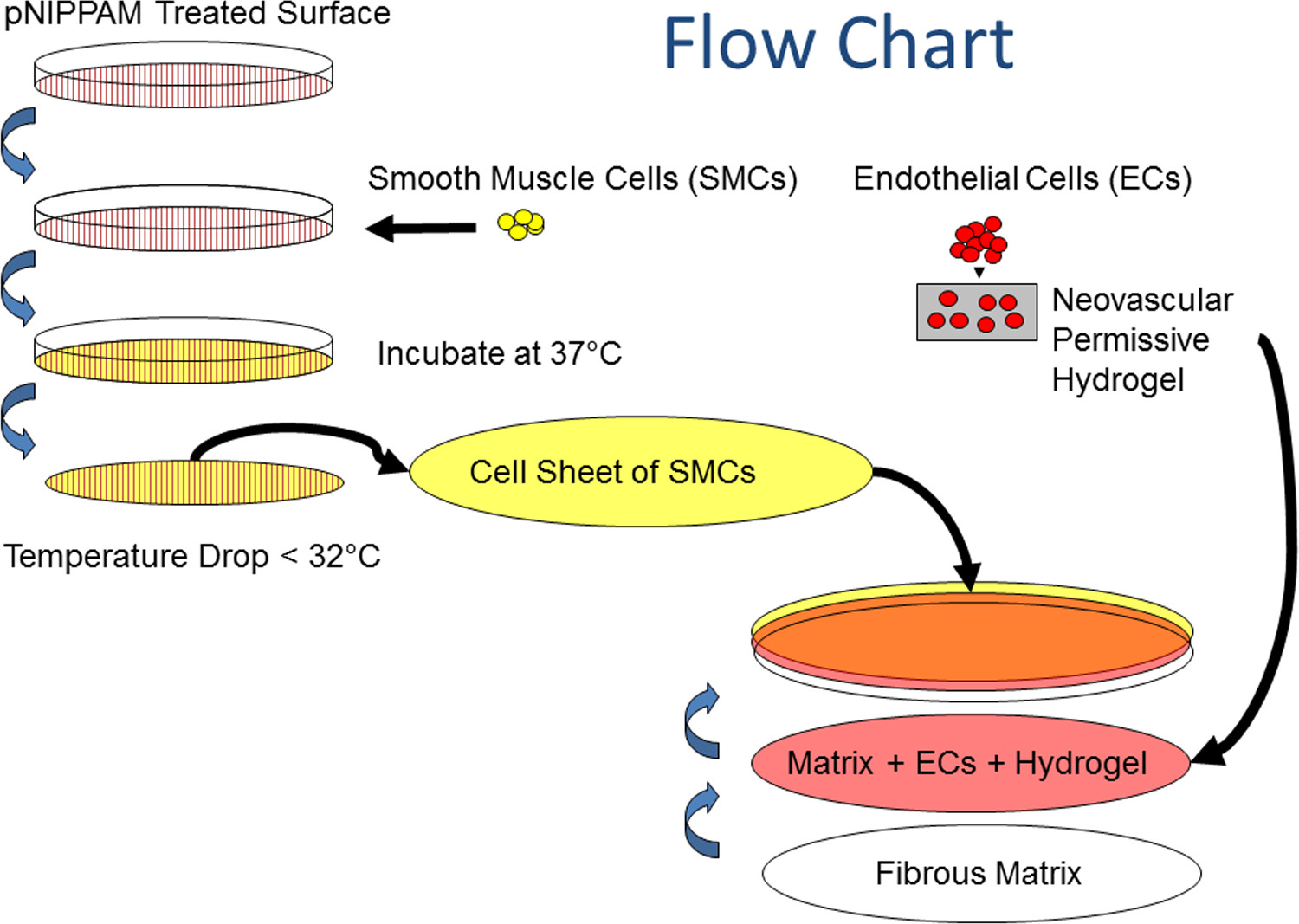 hight resolution of flow chart of tissue assembly cell sheets are created by seeding cells onto the thermoresponsive pnipaam coated plates and allowing enough time for cells