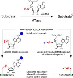 a methyl group transfer from the natural cofactor adomet sam to various substrates including dna rna proteins and small biomolecules  [ 2360 x 1807 Pixel ]