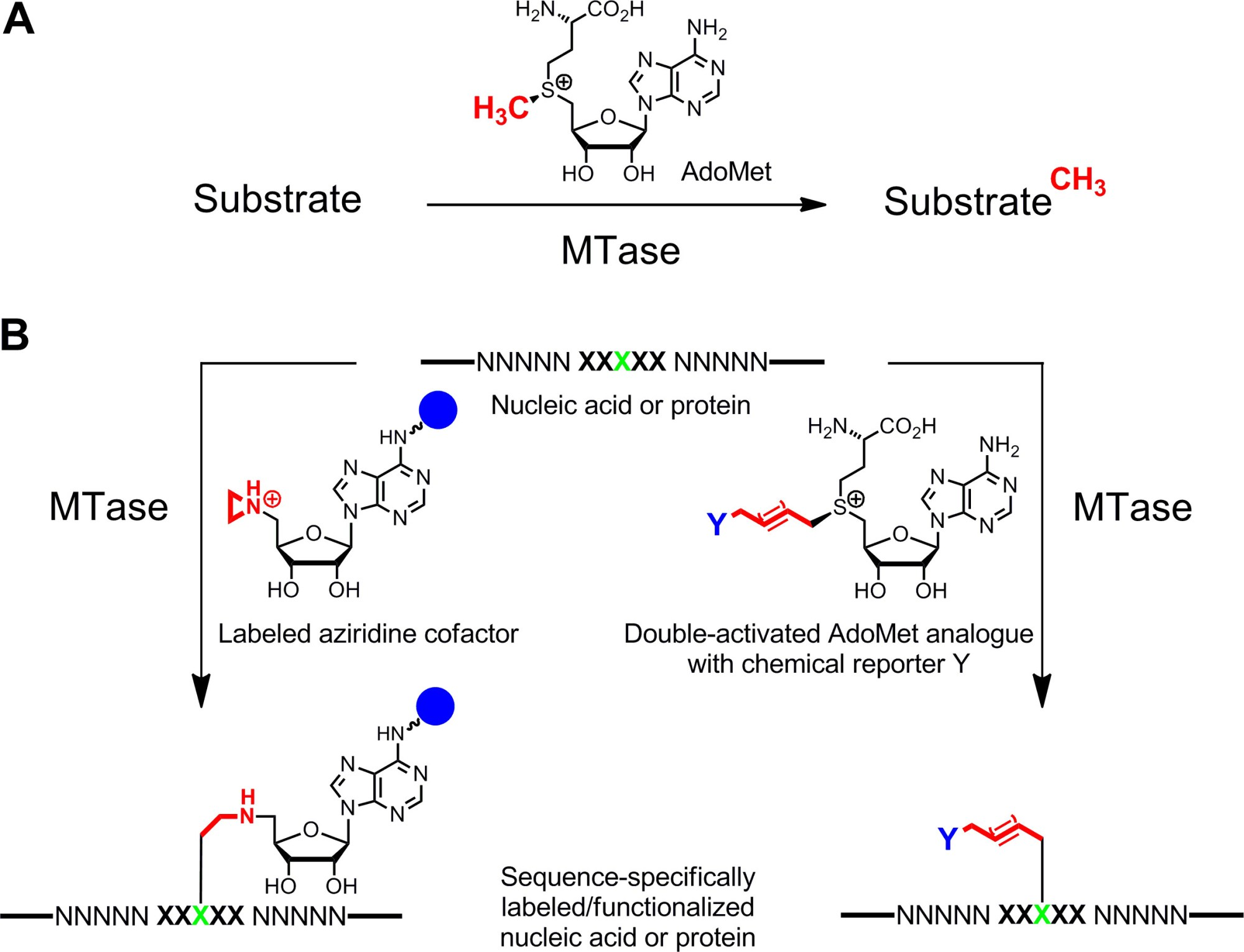 hight resolution of a methyl group transfer from the natural cofactor adomet sam to various substrates including dna rna proteins and small biomolecules