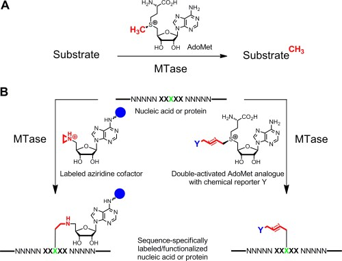 small resolution of a methyl group transfer from the natural cofactor adomet sam to various substrates including dna rna proteins and small biomolecules