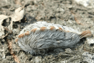Virginia Officials Warn Residents to Stay Away from Hairy, Poisonous Caterpillars