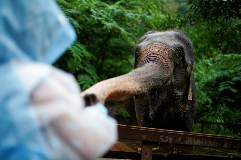 A tourist feeds fruit to a tamed elephant at the Wild Elephant Valley in Xishuangbanna Dai Autonomous Prefecture, Yunnan Province, China, July 6, 2021. REUTERS/Aly Song