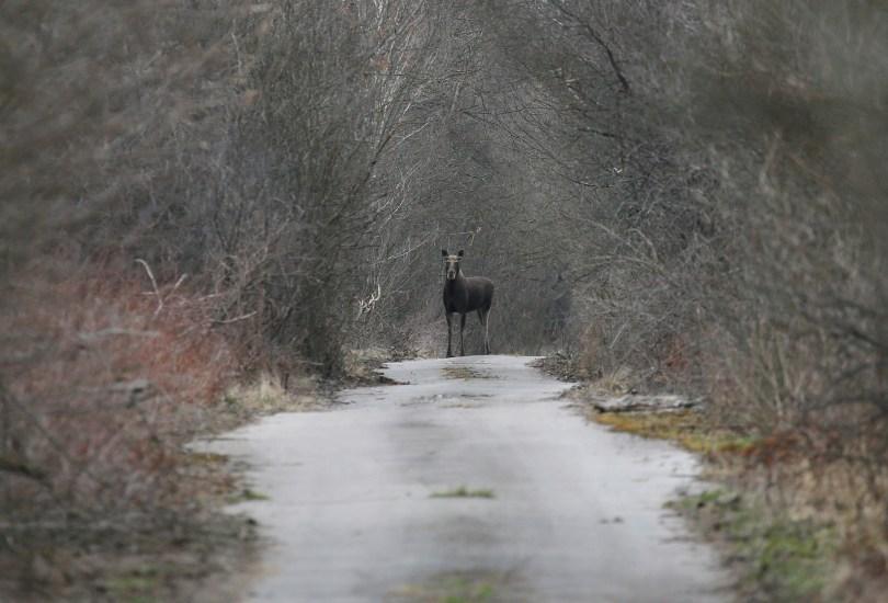 An elk is seen on a road in the Chernobyl zone, Ukraine April 12, 2021. Picture taken April 12, 2021. REUTERS/Gleb Garanich