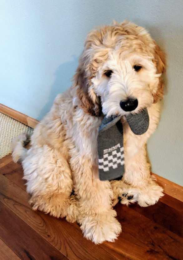 Meet Dexter a beautiful Doodle Puppy