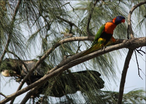 Rainbow lorikeet and cockatoo CG