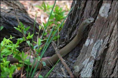 Brown snakes7 CG