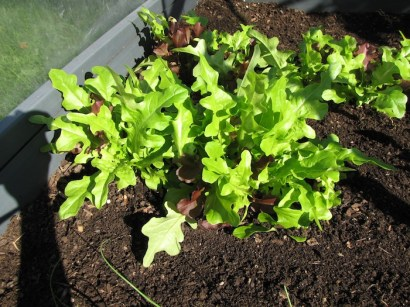 The lettuce has been very healthy so far.