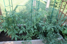 The tomatoes are finally taking off