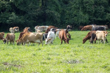 cows on pasture