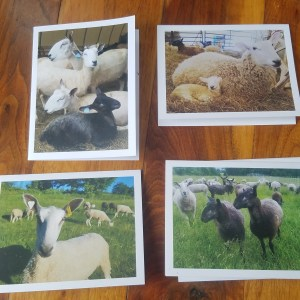 Sheep Greeting Cards- Package of 4