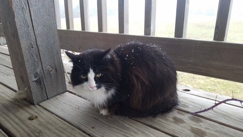 Cat on a deck with snow on her back