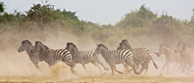 Running Zebra in Africa