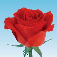 玫瑰的品種 - Bella is website