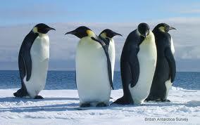 企鵝的品種 - YVONNE