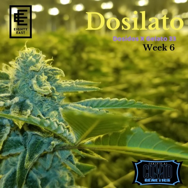 Dosilato_Eighty East powered by CLTVTD Genetics