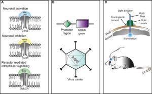 optogenetics p3
