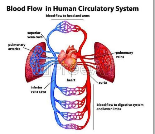 blood flow