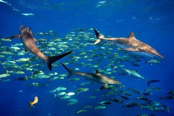 cuba coral sharks
