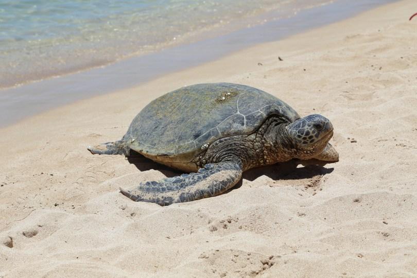 Sea turtles on the beach.