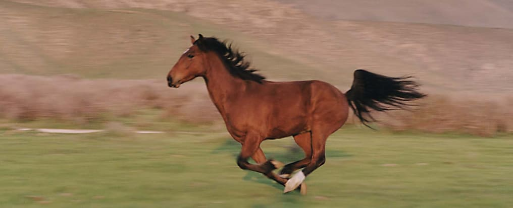 Mustang Horse Gallop