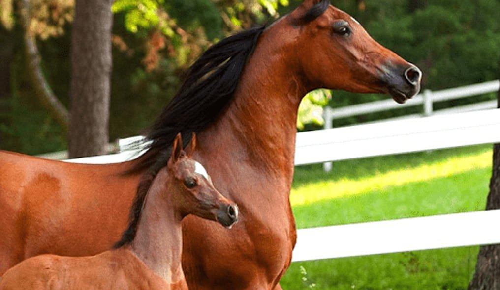 Arabian Horse and foal