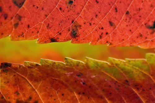 Autumn Sumac Detail