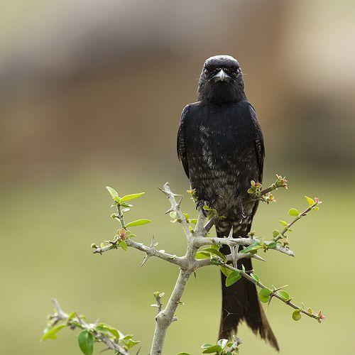 01 The Aggressive Black Drongo, por VinothChandar