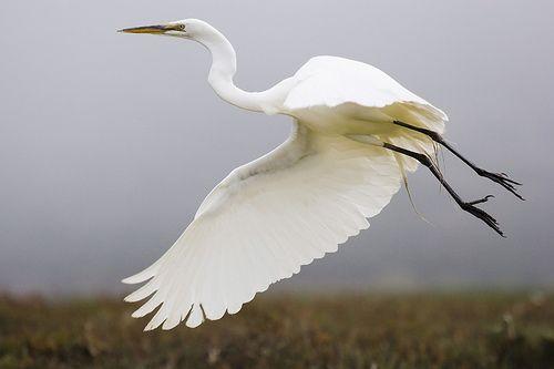Great Egret (Ardea alba), great-egret_MG_5189, por mikebaird