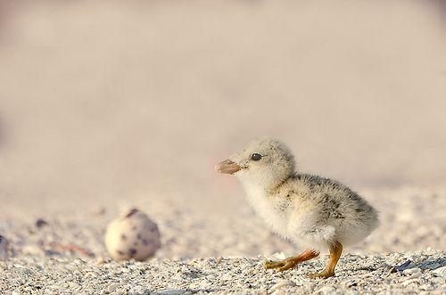 Babyblackskimmer, por Wildlifeshoots