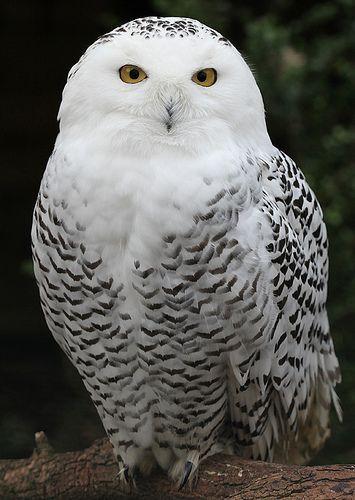 Snowy Owl - Schnee-Eule, por pe_ha45