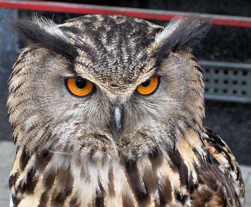 European Eagle Owl - Bubo bubo, por foxypar4