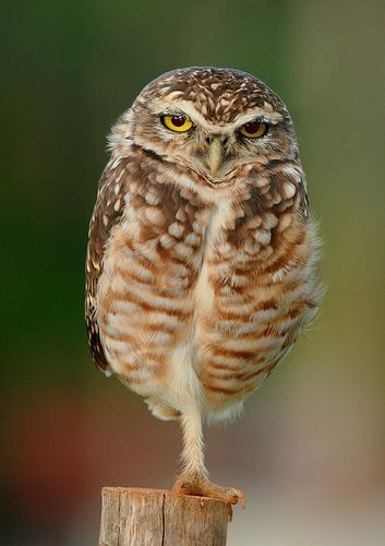 Coruja-buraqueira Burrowing Owl ( Athene cunicularia ), por Wagner Machado Carlos Lemes