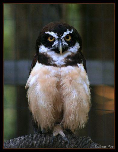 Spectacled Owl, por BigKidsLoveToys - off more than on