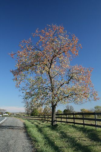 Autumn tree, por kcdsTM