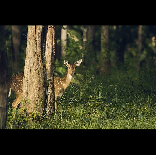 a bold and a beautiful deer... Explored, por Vinoth Chandar