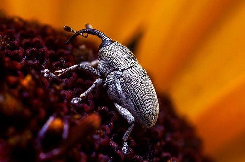 Weevil on a Flower, por Thomas Shahan