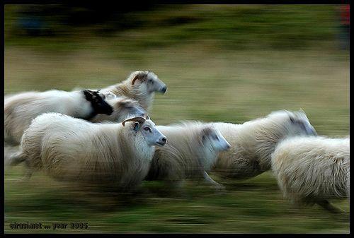The sheep from my friend Lalli, por eirasinn