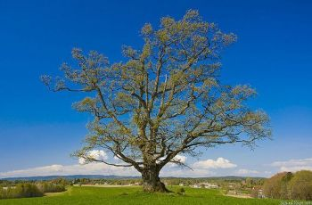 Spring Oak - Noon, polarizer., por Sigurd Rage