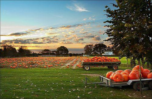 pumpkin field, por Sam Javanrouh