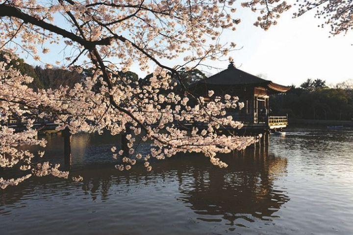 Fotografías de Japón - Cerezos en flor