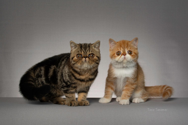 Cosas que debes saber sobre el gato exótico de pelo corto