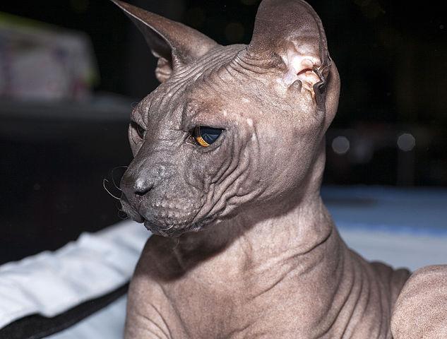 Evaluación de la salud del gato Sphynx