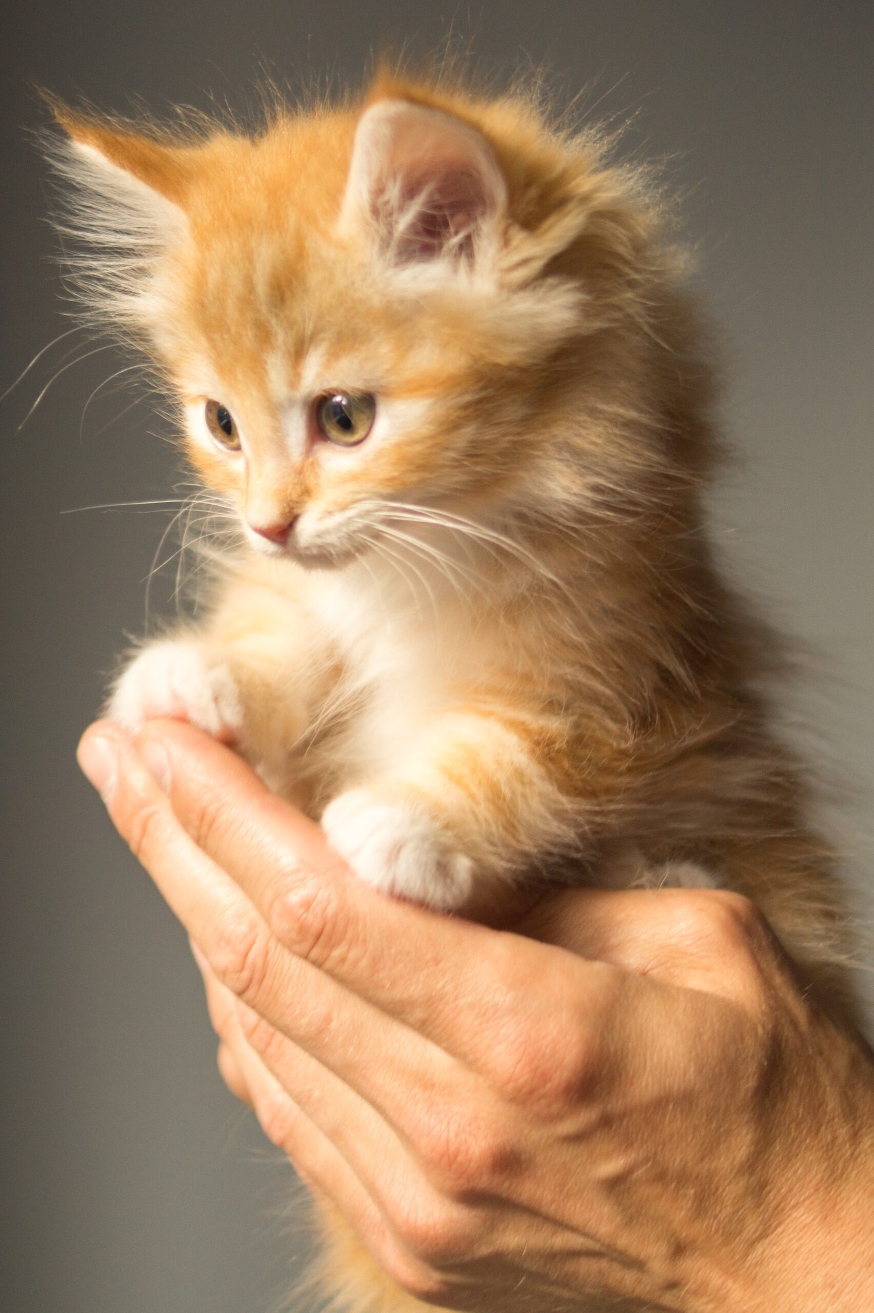 Cosas que debe saber sobre un gatito antes de comprarlo