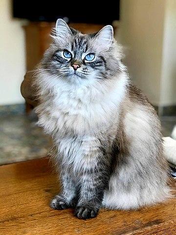 Gatos siberianos: el mito del gato sin alergia