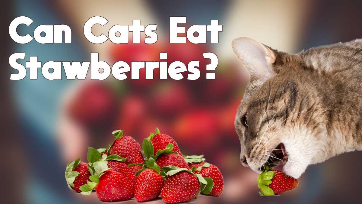 ¿Pueden los gatos comer fresas?