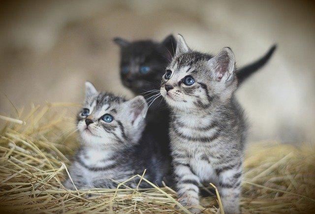 Control de la natalidad para gatos: ¿qué pasó con FeralStat?