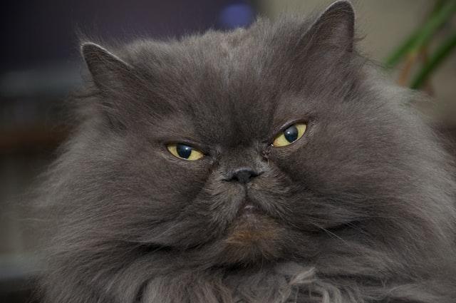 La investigación demuestra que los gatos tienen 5 tipos principales de personalidad